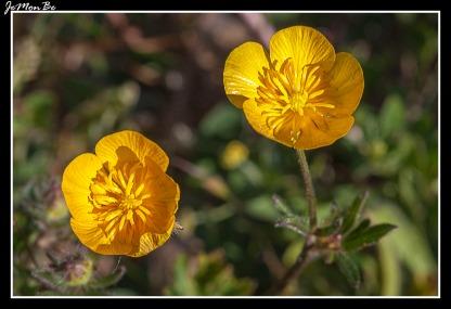 Boton de oro (Ranunculus repens) 01