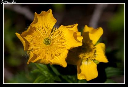 Boton de oro (Ranunculus repens) 02