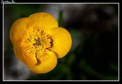 Boton de oro (Ranunculus repens) 03