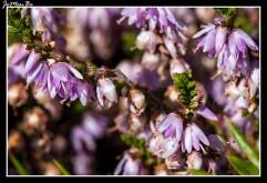 Brecina (Calluna vulgaris) 01