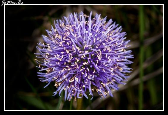Cabezuela (Globularia vulgaris) 01