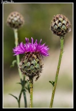Cabezuera (Centaurea scabiosa) 01