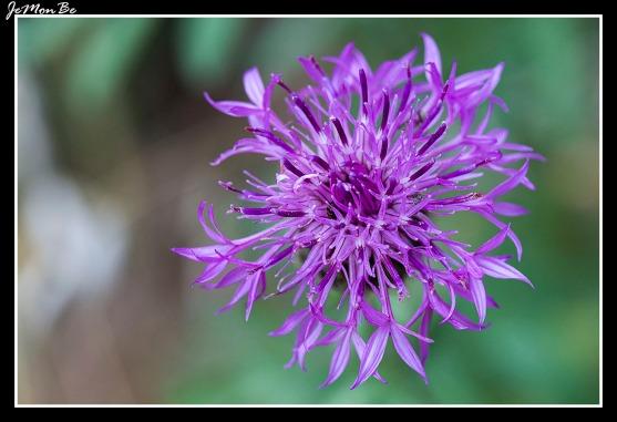 Cabezuera (Centaurea scabiosa) 02