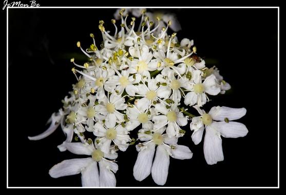 Cañiguerra (Chaerophyllum Aureum) 01