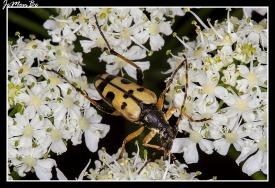 Cañiguerra (Chaerophyllum Aureum) 02