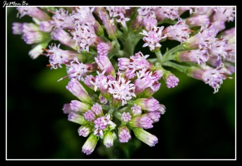 Calabacera (Adenostyles alliariae)