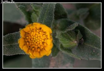 Calendula arvensis