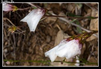 Campanilla de verano (Leocojum trichophyllum)