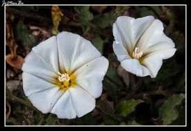 Campanilla mayor (Calystegia sepium) 01