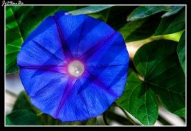 Campanilla morada (Ipomoea purpurea) 00