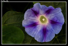 Campanilla morada (Ipomoea purpurea) 01