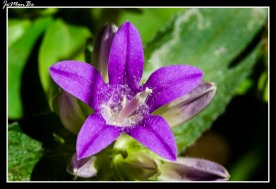 Campanilla rastrera (Campanula decumbens)