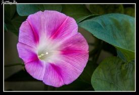 Campanilla rosa (Ipomoea rosae)