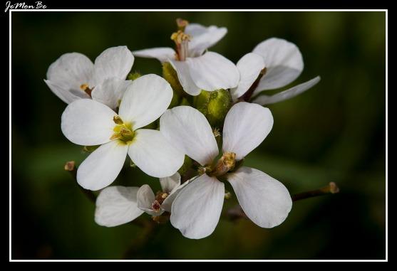 Canastilla alpina (Arabis alpina)