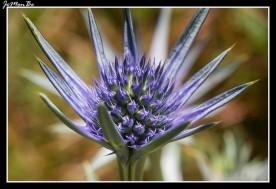 Cardo azul (Eryngium Bourgatii)