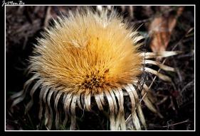 Cardo de puerto (Carlina acanthifolia) 00