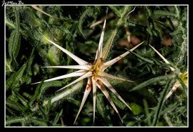 Cardo estrellado (Centaura calcitrada)