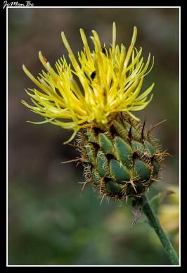 Centaura amarilla (Centaurea collina)