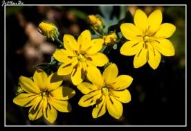 Centaura (Blackstonia Perfoliata) 01