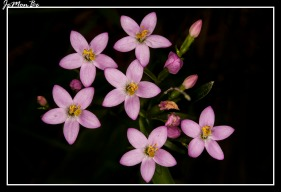 Centaura (Centaurium tenuiflorum)