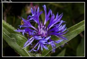 Centaurea 01
