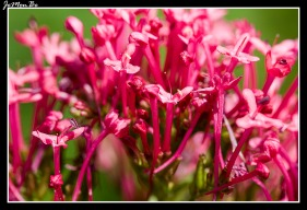 Centrato, valeriana roja (Centranthus Ruber)