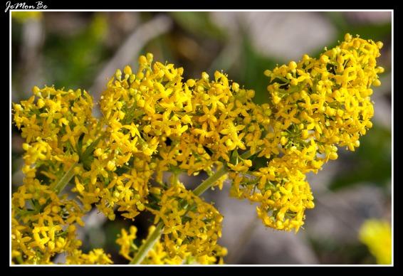 Cera virgen (Galium verum)