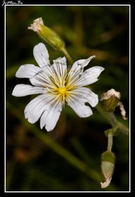 Cerastio (Cerastium boissieri)