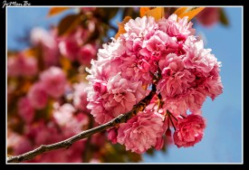 Cerezo japonés (Prunus serrulata)