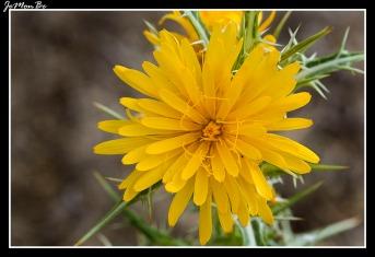 Cerraja, lechacino (Sonchus asper) 02