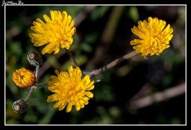 Cerraja lechuguilla (Sonchus Arvensis) 01