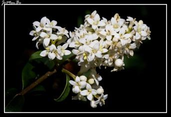 Cerrillo, galio blanco (Galium mollugo) 00