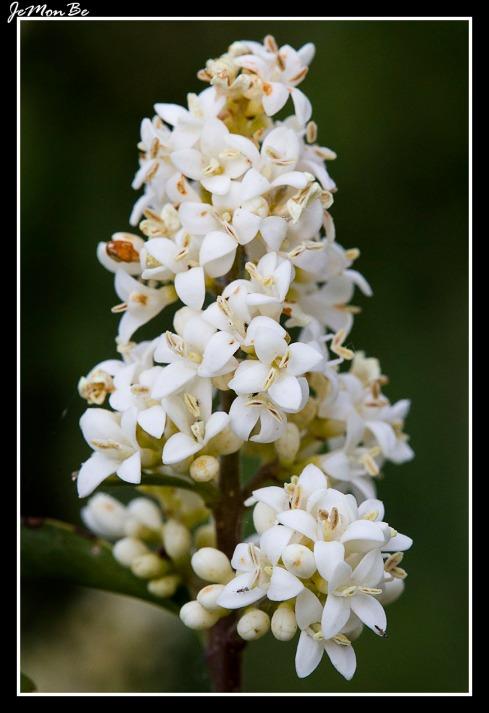 Cerrillo, galio blanco (Galium mollugo) 01