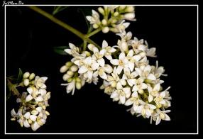 Cerrillo, galio blanco (Galium mollugo) 03