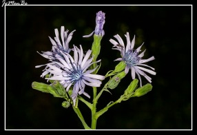 Chicoina azul (Cicerbita plumier)