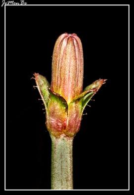 Chicoina azul (Cicerbita plumieri) 01