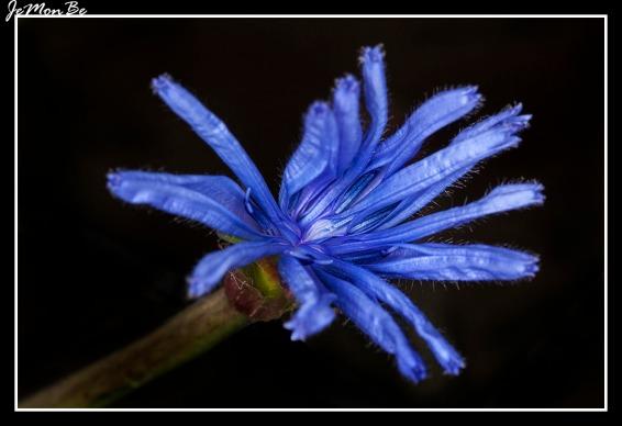 Chicoina azul (Cicerbita plumieri) 02