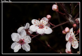 Ciruelo (Prunus) 01