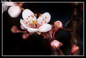 Ciruelo (Prunus) 02
