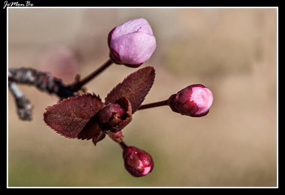 Ciruelo rojo (Prunus Pisardi)