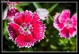 Clavel chino (Dianthus chinensis)