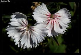 Clavel (Dianthus barbatus) 00
