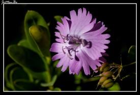 Clavel (Dianthus barbatus) 01