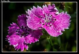 Clavel (Dianthus barbatus) 02