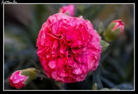 Clavel rosado (Dianthus Caryophyllus) 00