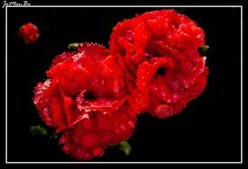 Clavel rosado (Dianthus Caryophyllus) 01