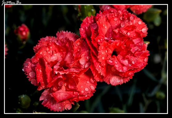 Clavel rosado (Dianthus Caryophyllus) 02