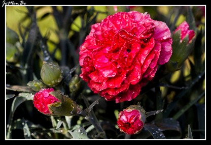 Clavel rosado (Dianthus Caryophyllus) 03