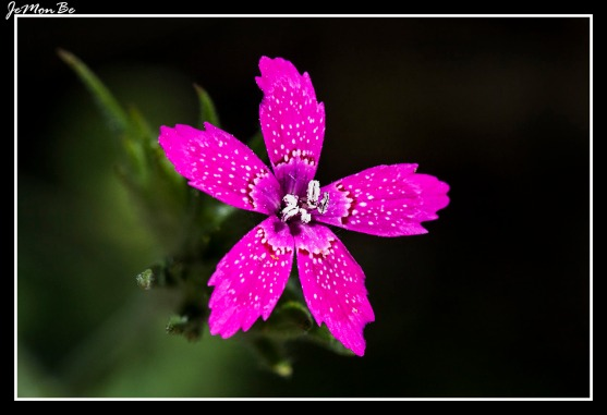 Clavelito (Dianthus deltoides)