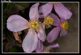 Clematis montana (Clematis Mayleen)